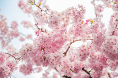Pink Cherry flower background Stock Photo