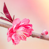 Pink Cherry flower and bud Royalty Free Stock Image