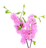 Pink cherry flower isolated on a white background Royalty Free Stock Photo