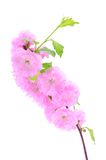 Pink cherry flower isolated on a white background Royalty Free Stock Image