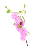 Pink cherry flower isolated on a white background Royalty Free Stock Photos