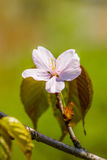 Pink cherry flower and some leaves on a twig Royalty Free Stock Photo