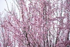 Pink cherry flowers. Cherry blossoms flowering in California spring Stock Images