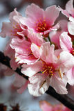 Pink Cherry Flowers Blooming Stock Photo