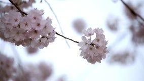 Pink cherry flowers blooming in springtime swing stock video footage