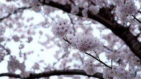 Pink cherry flowers blooming in springtime stock video footage