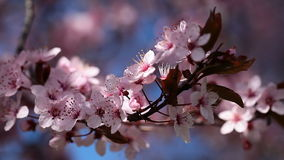Pink cherry flowers blooming in springtime swining in the wind stock video footage