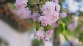 Pink cherry flowers blooming in springtime swining in the wind. Japanese sakura. HD stock video