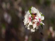 Pink cherry flowers blooming in springtime swining in the wind stock video