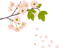 Pink cherry flowers and falling petals Royalty Free Stock Photos