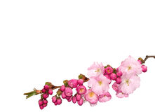 Pink cherry-flowers, isolated. Royalty Free Stock Images