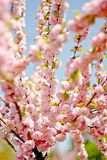 Pink cherry flowers. Sakura tree in bloom on spring Stock Photos
