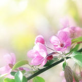 Pink cherry flowers in sun light Stock Photo