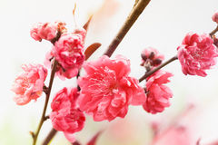 Pink cherry flowers blooming Royalty Free Stock Photo