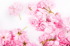 Pink cherry flowers royalty free stock photography