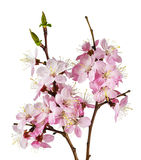 Pink cherry flowers on white background macro Royalty Free Stock Images