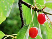 Pink Cherry Fruit On The Tree. Pink Cherry fruit tree in a sunny day at New Zealand.  Cherries grows happily during summer as it is a seasonal fruit Royalty Free Stock Images