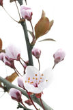 Pink Cherry Plum or Myrobalan Blossoms Royalty Free Stock Photos