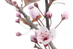 Pink Cherry Plum or Myrobalan Blossoms Stock Images