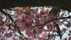 Pink Cherry Spring Blossom under Tree Branch. Medium close up low angle high dynamic range shallow depth of field tracking slider shot moving under a tree branch stock video footage