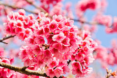 Pink cherry in Thailand Stock Photos