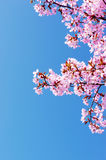 Pink cherry tree blossom. And clear blue sky Royalty Free Stock Images