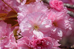 Pink cherry tree blossom Stock Photos