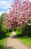 Pink cherry tree blossoming Stock Images