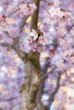 Pink cherry tree blossoms Royalty Free Stock Images