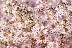 Pink cherry tree blossoms in spring Stock Photos