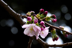 Pink cherry tree branch with dark background. And closed up buds Stock Photography