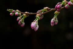 Pink cherry tree branch with dark background. A single lovely cherry tree branch. Cherry buds are not open jet Stock Photography