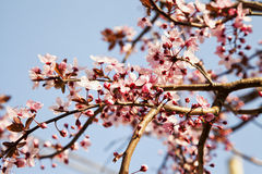 Pink cherry tree Stock Image