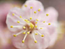 Pink cherry tree flower macro Royalty Free Stock Image