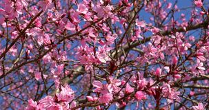 Pink Cherry Tree Flowers Blossom In Spring. Pink Cherry Tree Flowers Blossom Close Up In Spring stock video