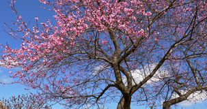 Pink Cherry Tree Flowers Blossom In Spring. Pink Cherry Tree Flowers Blossom Close Up In Spring stock footage