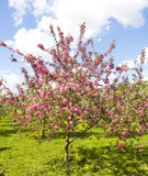 Pink cherry tree Royalty Free Stock Image