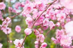 Pink Cherry tree spring blossom Stock Photos