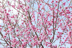 Pink Cherry tree spring blossom Stock Images