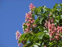Pink chestnut Stock Photography