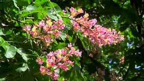 Pink chestnut flowers stock footage
