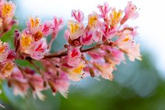 Pink chestnut tree, Aesculus × carnea, or red horse-chestnut bl stock images