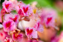 Pink chestnut tree, Aesculus × carnea, or red horse-chestnut bl stock photo