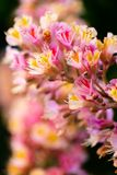 Pink chestnut tree, Aesculus × carnea, or red horse-chestnut bl stock photos