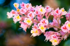 Pink chestnut tree, Aesculus × carnea, or red horse-chestnut bl royalty free stock photos