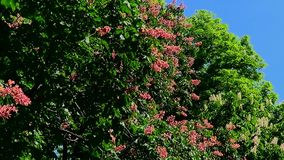 Pink chestnut tree stock video footage