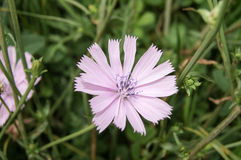 Pink chicory Stock Photos