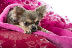 Pink chihuahua Royalty Free Stock Photos