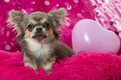 Pink chihuahua Stock Photography
