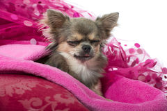 Pink chihuahua Royalty Free Stock Images